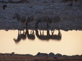 Botswana Tour #9  - Sunset with lotsa Stripes by mmynx34, Photography->Animals gallery