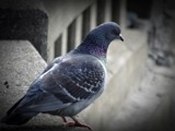 PIGEON by picardroe, photography->birds gallery