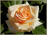 """Marilyn Monroe"" Rose by trixxie17, photography->flowers gallery"
