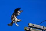 osprey landing by solita17, Photography->Birds gallery