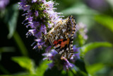 Painted Lady on Hysop by Pistos, photography->butterflies gallery