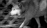 The Wolf-_ B&W by tigger3, contests->b/w challenge gallery