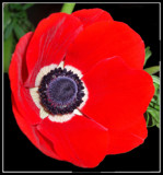 Red Poppy by ccmerino, photography->flowers gallery