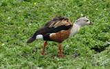 Orinoco Goose by gonedigital, photography->birds gallery