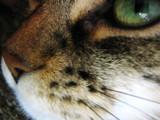 Miss Kitty by dastpost, Photography->Animals gallery