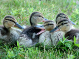 Mallard Ducklings by jeremy_depew, Photography->Birds gallery