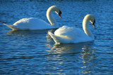 Pairs Paddling by braces, Photography->Birds gallery