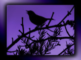 Evening Song by LynEve, photography->birds gallery