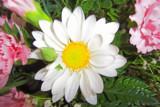 Pardon Me, Daisy by kidder, Photography->Flowers gallery