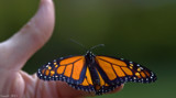 The Monarch Butterfly_New Beginning by tigger3, photography->butterflies gallery