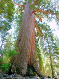 Grizzly Giant, Sequoia...Leaning In For A Hug by Zava, photography->nature gallery