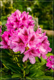 FF Rhododendron by corngrowth, photography->flowers gallery