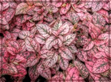 Pink Polka Dot Plant by trixxie17, photography->nature gallery