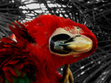Parrot scratching its head (edited) by Zethus, photography->birds gallery