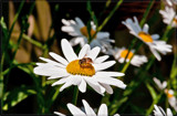Hoverfly On Daisy by corngrowth, photography->macro gallery
