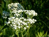 Queen Anne's Lace by trixxie17, photography->flowers gallery