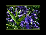 Bluebells by LynEve, Photography->Flowers gallery