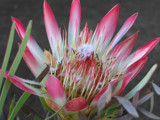 Protea by Crusader, photography->flowers gallery