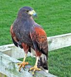Harris Hawk by biffobear, photography->birds gallery