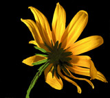 Black Eyed Susan by ccmerino, photography->flowers gallery