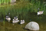 Geese Family 2 by Ramad, photography->birds gallery