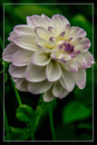 Dahlia Show 14 by corngrowth, photography->flowers gallery
