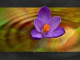 crocus 3 by d_spin_9, Photography->Manipulation gallery