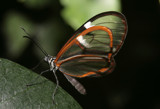 Glass Wings by rahto, Photography->Butterflies gallery