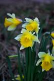 Dydd Gwyl Dewi Hapus #3 by braces, photography->flowers gallery