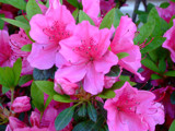 Pink Azalea in Full Bloom by connodado, Photography->Flowers gallery