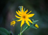 Budding False Sunflower by Pistos, photography->flowers gallery