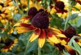 Chocolate Orange Rudbeckia by trixxie17, photography->flowers gallery
