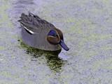 Teal by biffobear, photography->birds gallery
