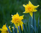 Frilly Daffodils by Pistos, photography->flowers gallery