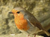 Robin with the red breast... by owldgirl, photography->birds gallery