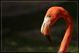 Sunlit Flamingo by Jimbobedsel, photography->birds gallery