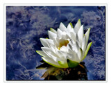 Water Lily HDR by gerryp, Photography->Flowers gallery