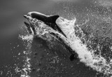 dolphins mid atlantic, 2013 by gse1978, photography->reptiles/amphibians gallery