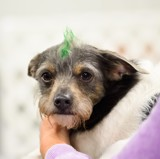 Otis Goes Green for St. Patrick's Day by tigger3, photography->pets gallery