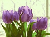 Passionate Purple Tulips by CDHale, photography->manipulation gallery