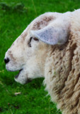 We Like Sheep by braces, photography->animals gallery