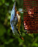 Nuts!,To you by biffobear, photography->birds gallery