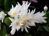 Last Easter Cactus by trixxie17, photography->flowers gallery