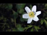 Wood anemone by ekowalska, Photography->Flowers gallery