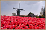 Greetings From Holland 2 of 4 by corngrowth, Photography->Flowers gallery