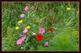 Summer Wildflowers 02 by corngrowth, Photography->Flowers gallery