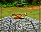 Hopper on the Railing by ccmerino, photography->insects/spiders gallery