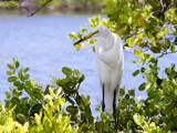 Heron in Mangroves by Surfcat, Photography->Birds gallery