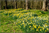 Open Spot Daffodils by corngrowth, photography->flowers gallery