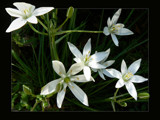 Star Of Bethlehem by LynEve, Photography->Flowers gallery